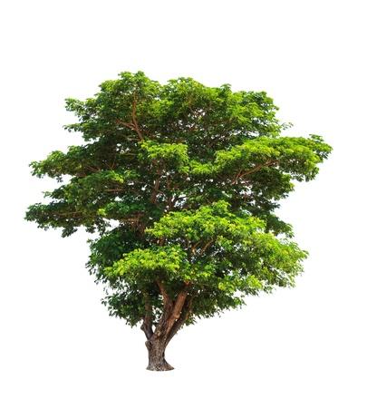 samanea saman: Rain tree (Samanea saman), tropical tree in the northeast of Thailand isolated on white background