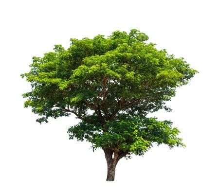 Regenboom (Samanea saman), tropische boom in het noordoosten van Thailand op een witte achtergrond