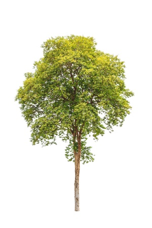rosewood: Pterocarpus indicus known by several common names, including Amboine, Pashu Padauk, Malay Paduak, New Guinea Rosewood, tropical tree in the northeast of Thailand isolated on white background
