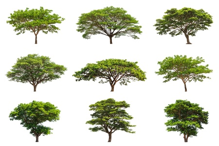 Collection of Rain trees  Samanea saman , tropical tree in the northeast of Thailand isolated on white background