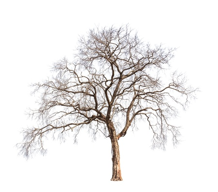 Vieil arbre et mort isol? sur fond blanc