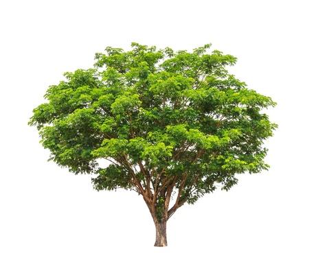비 트리 (Samanea의 삼안), 태국의 북동부 열대 나무는 흰색 배경에 고립 스톡 콘텐츠