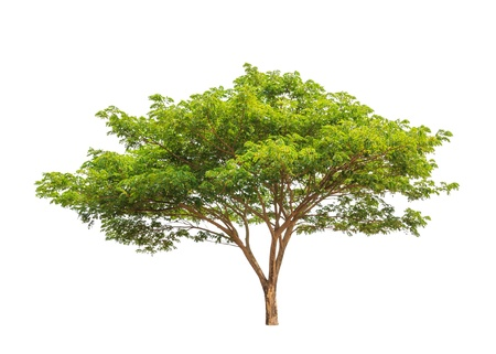 Rain Tree (Samanea saman), tropische boom in het noordoosten van Thailand geïsoleerd op witte achtergrond Stockfoto