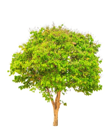 myrtle green: Lagerstroemia floribunda, also known as Thai crape myrtle and kedah bngor, tropical tree in the northeast of Thailand isolated on white background