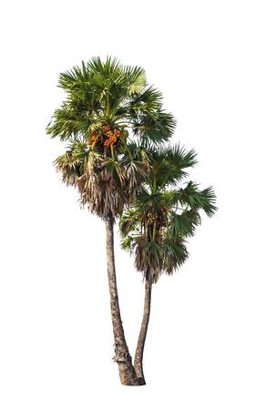 cambodian palm: Due Borassus alberi flabellifer, conosciuto con diversi nomi comuni, tra cui Asian Palmyra palma, Toddy palma, zucchero di palma, o di palma cambogiana, albero tropicale nel nord-est della Thailandia isolato su sfondo bianco