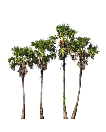 cambodian palm: Four borassus flabellifer trees, known by several common names, including Asian Palmyra palm, Toddy palm, Sugar palm, or Cambodian palm, tropical tree in the northeast of Thailand isolated on white background