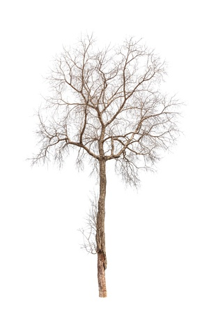 Old and dead tree isolated on white background