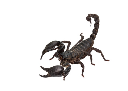 Asian giant forest scorpion (Heterometrus laoticus) isolated on white background photo