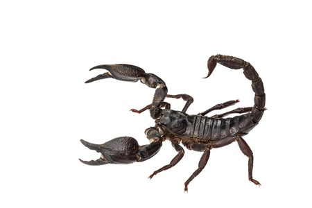 arthropod: Asian giant forest scorpion (Heterometrus laoticus) isolated on white background