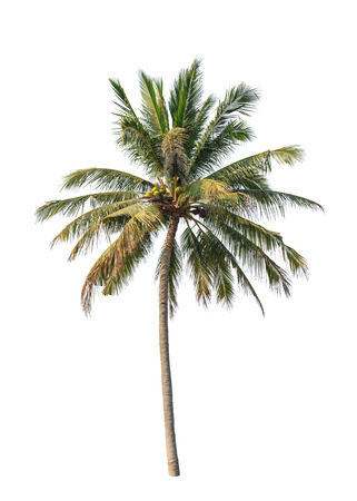 Kokospalme isoliert auf wei?m Hintergrund Standard-Bild