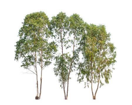 Trois arbres d'eucalyptus, arbre tropical dans le nord-est de la Thaïlande isolé sur fond blanc