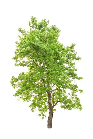 Neuguinea Rosenholz tropischer Baum im Nordosten von Thailand isoliert auf weißem Hintergrund Standard-Bild - 26818556
