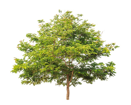 cassia: Cassia tree tropical tree in the northeast of Thailand isolated on white background Stock Photo