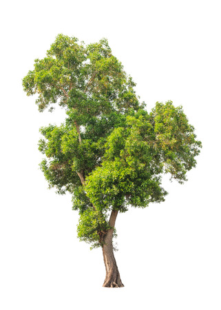 big tree: Acacia auriculiformis, commonly known as Auri, Earleaf acacia, Earpod wattle, Northern black wattle, Papuan wattle, Tan wattle, tropical tree in the northeast of Thailand isolated on white background