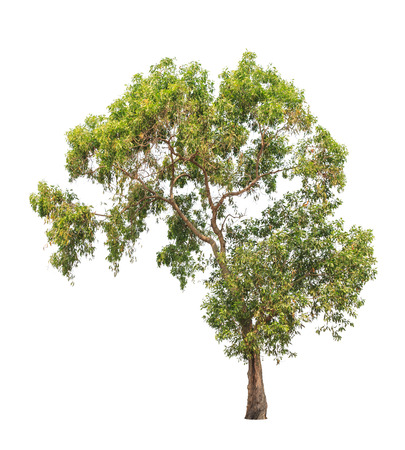 Acacia auriculiformis, commonly known as Auri, Earleaf acacia, Earpod wattle, Northern black wattle, Papuan wattle, Tan wattle, tropical tree in the northeast of Thailand isolated on white background photo