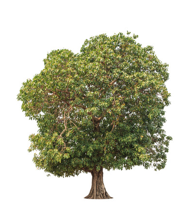 Mangifera pentandra (Wild Mango), tropical tree in the northeast of Thailand isolated on white background photo