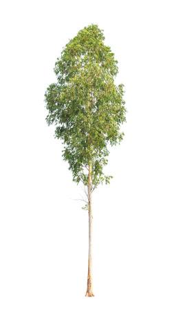 ユーカリの木、タイの北東部で、熱帯高木