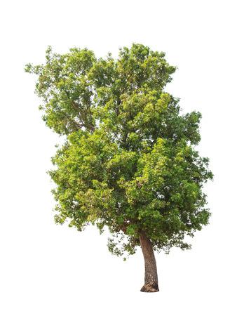 Tembusu (Fagraea fragrans), commonly known as Buabua, Urung, Temasuk, Tatrao, Trai, Kan Krao, Tembesu, Anan, Ananma, Munpla, tropical tree in the northeast of Thailand Stock Photo - 27331840
