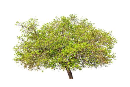 tropical tree: �rbol tropical en el noreste de Tailandia