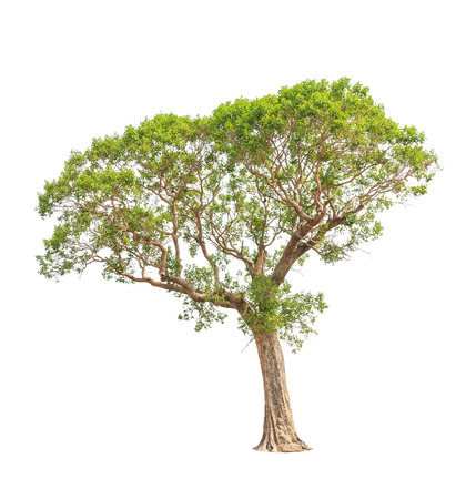 big tree: Irvingia malayana also known as Wild Almond, tropical tree in the northeast of Thailand isolated on white background