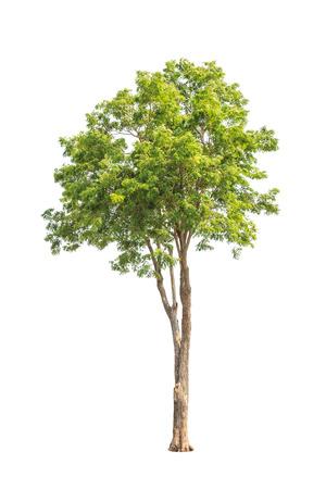 new guinea: Pterocarpus indicus conosciuto con diversi nomi comuni, tra cui Amboine, Pashu Padauk, malese Paduak, Nuova Guinea palissandro, albero tropicale nel nord-est della Thailandia isolato su sfondo bianco