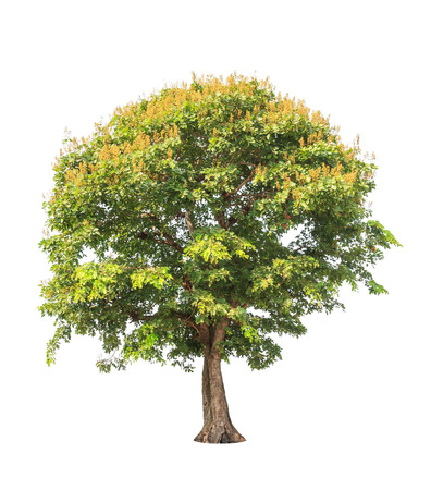 siamensis: Sindora siamensis, tropical tree in the northeast of Thailand isolated on white background Stock Photo
