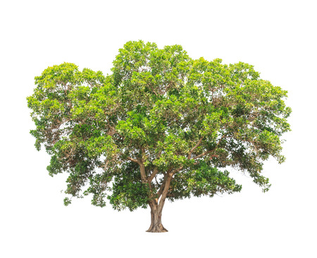 Acacia mangium, common names include Black Wattle, Hickory Wattle, Mangium, and Forest Mangrove, tropical tree in the northeast of Thailand isolated on white background photo