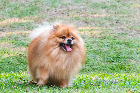 Pomeranian dog playing on green grass in the garden photo