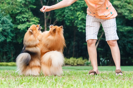 Pomeranian dogs standing on its hind legs to get a treat from owner photo