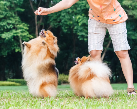 Pomeranian dog standing on its hind legs to get a treat from owner