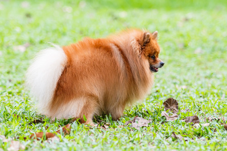 excretion: Pomeranian dog defecating on green grass in the garden Stock Photo
