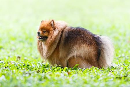 pooping: Pomeranian dog defecating on green grass in the garden Stock Photo