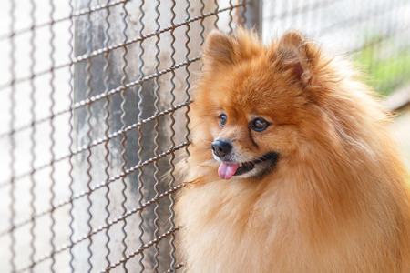 come home: Pomeranian dog waiting for owner to come home