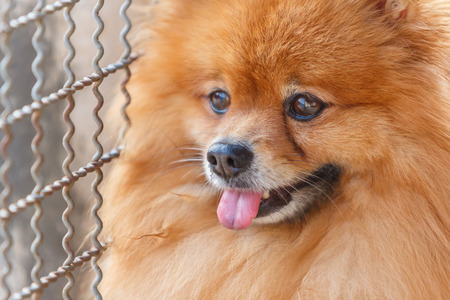 come home: Close up of Pomeranian dog waiting for owner to come home Stock Photo