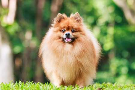 Pomeranian dog standing on green grass in the garden photo