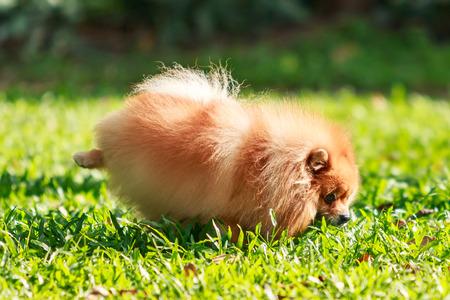 excrete: Pomeranian dog peeing on green grass in the garden Stock Photo