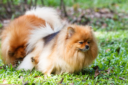 excrete: Pomeranian dog peeing on green grass in the garden Stock Photo