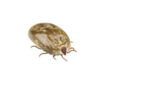 Female tick isolated on white background photo