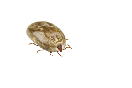 mite: Female tick isolated on white background Stock Photo