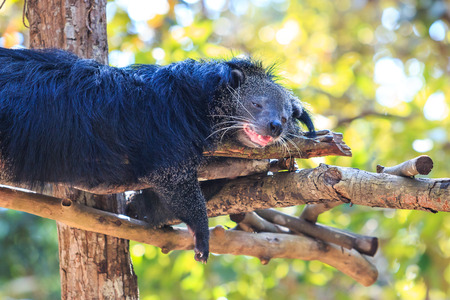 bearcat: Close-up of Binturong, Bearcat (Arctictis binturong) in the zoo