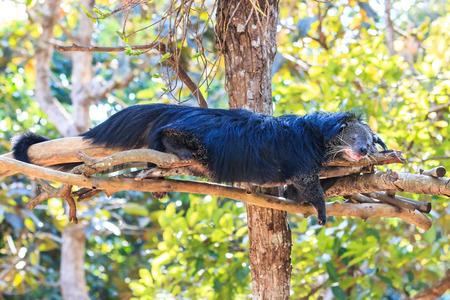 bearcat: Binturong, Bearcat (Arctictis binturong) in the zoo
