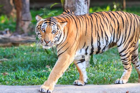 Bengal tiger (Panthera tigris tigris) in the zoo photo