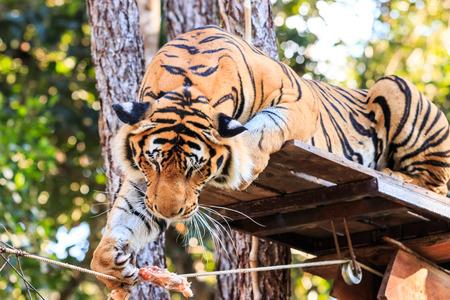 Feeding the Bengal tiger (Panthera tigris tigris) in the zoo photo