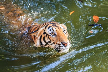 instincts: Bengal tiger (Panthera tigris tigris) swimming in a pool at the zoo
