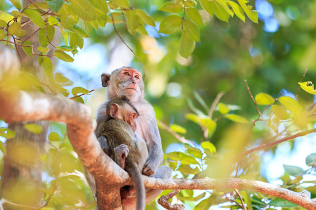 Monkey family (Crab-eating macaque) on tree in Thailand photo