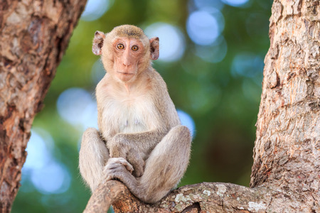 Monkey (Crab-eating macaque) on tree in Thailand Stock Photo