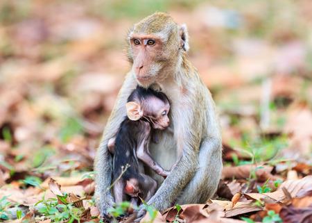 lactancia materna: Mono (macaco cangrejero) Beb� de amamantamiento en Tailandia