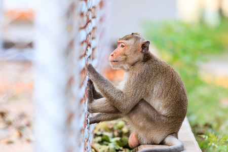 Monkey (Crab-eating macaque) sitting on floor in Thailand photo