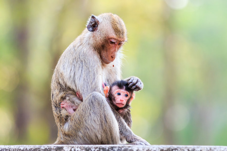 breastfeed: Monkey family (Crab-eating macaque) in Thailand