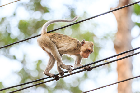 climbing cable: Monkey (Crab-eating macaque) climbing on power cable in Thailand